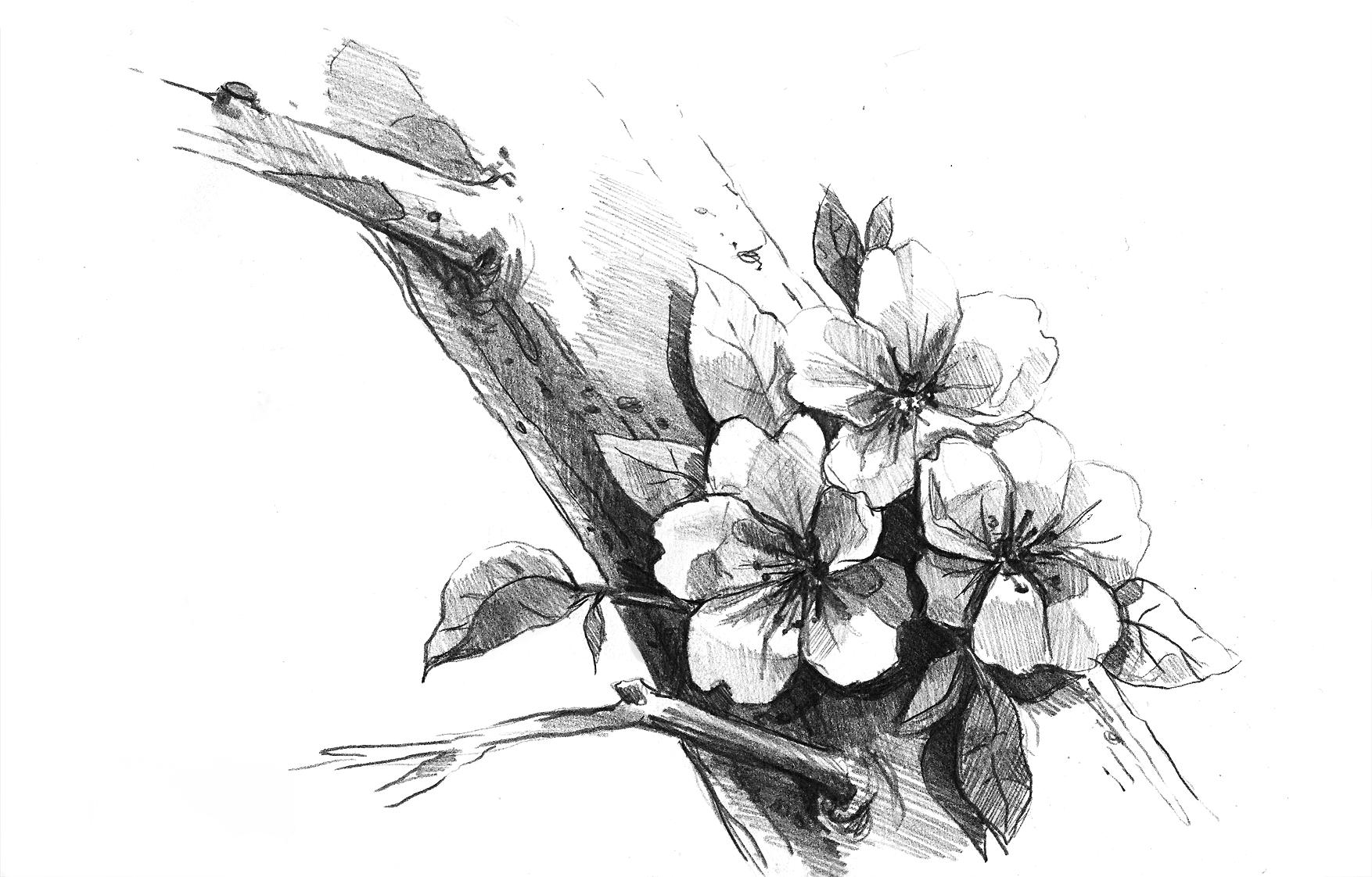 Cherry Blossom Flowers Anime